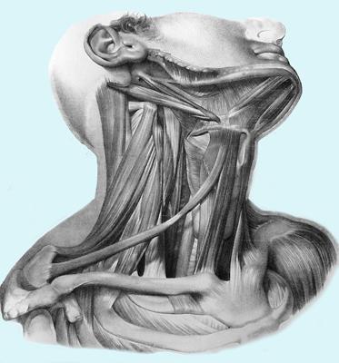 Region lateral del cuello | Ultra Musculos